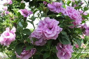 dubbele-roze-hangpetunia