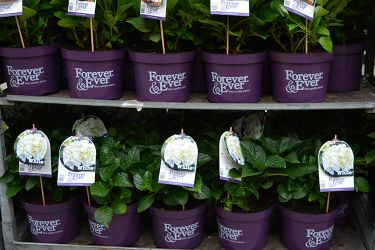 for-ever-and-ever-hortensia