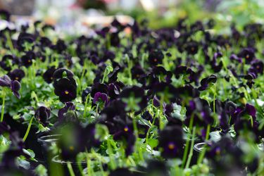 zwarte-viooltjes