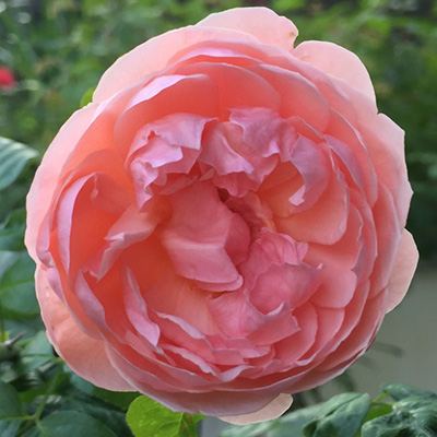 Engelse-David-Austin-roos-(Rosa-Strawberry-Hill)