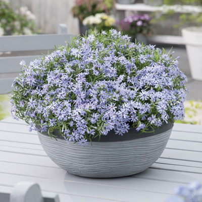 kruipphlox-(Phlox-subulata-Fabulous-Blue-Dark-Center)