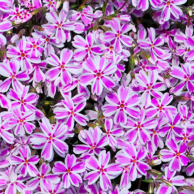 kruipphlox-(Phlox-subulata-Candy-Stripes)