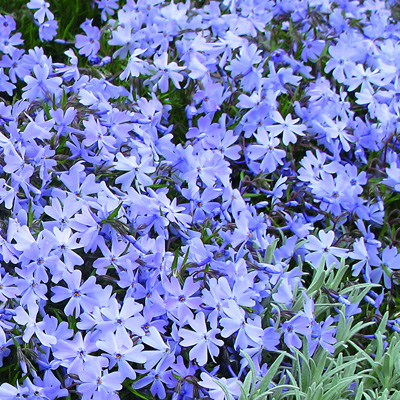 kruipphlox-(Phlox-subulata-Emerald-Cushion-Blue)