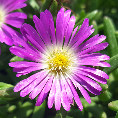 ijsbloem (Delosperma Wheels of Wonder<sup>®</sup> Purple) ('P15R1'PBR) EU 20190938