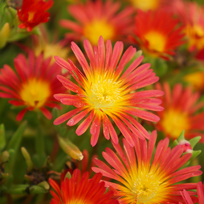 ijsbloem (Delosperma Wheels of Wonder<sup>®</sup> Fire) ('WOWDAY2'PBR) EU 39383