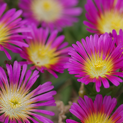 ijsbloem (Delosperma Wheels of Wonder<sup>®</sup> Hot Pink) ('WOWDRY1'PBR) EU 36469