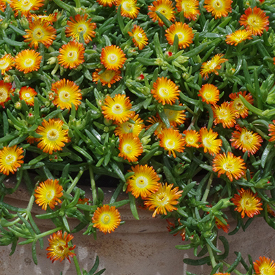 ijsbloem (Delosperma Wheels of Wonder<sup>®</sup> Orange) ('WOWDOY3'PBR) EU 39386