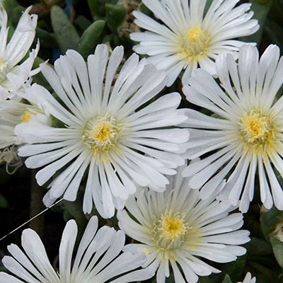 ijsbloem (Delosperma Wheels of Wonder<sup>®</sup> White) ('WOWDW7'PBR) EU 39385