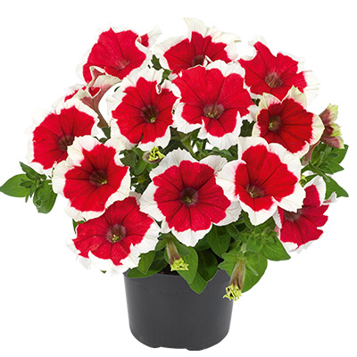 petunia (Petunia-grandiflora-Collection-Picotee-Red)