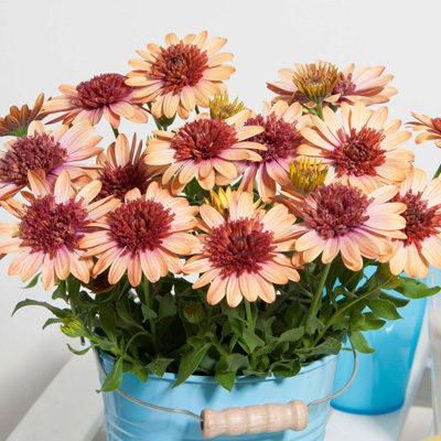 kaapse margriet (Osteospermum-ecklonis-Erato<sup>®</sup>-Double-Orange-Center)